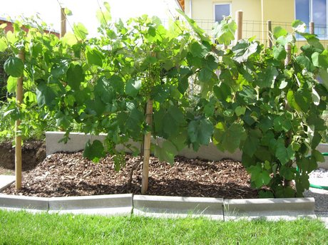 Weinreben Im Garten